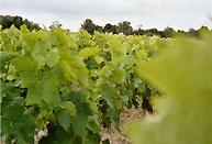 Terroir Pauillacais - Les vignes de la rose Pauillac
